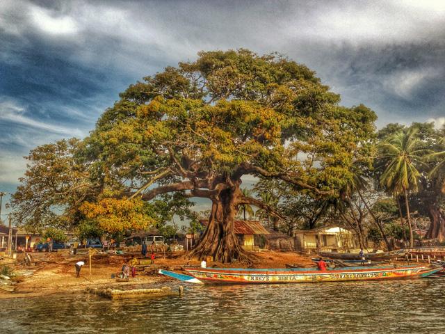 El 'fromager', l'arbre típic del Senegal. La seva fusta, molt resistent, serveix per a construir les piragües. Foto: carlespascual.cat