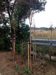Els arbres ajudaran en la insonorització i reduiran l'impacte visual de les pantalles de formigó. Foto: carlespascual.cat