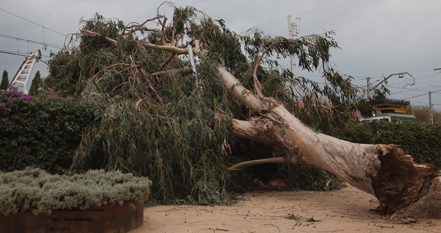 Eucaliptus tombat pel fort vent, amb ràfagues superios als 80km/h. Foto: Tino Valduvieco