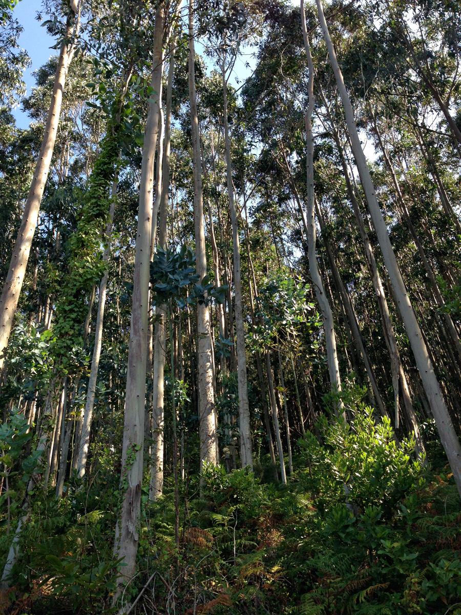 Les falgueres fan de sabates naturals als eucaliptus que s'aixequen rectes. Foto: carlespascual.cat